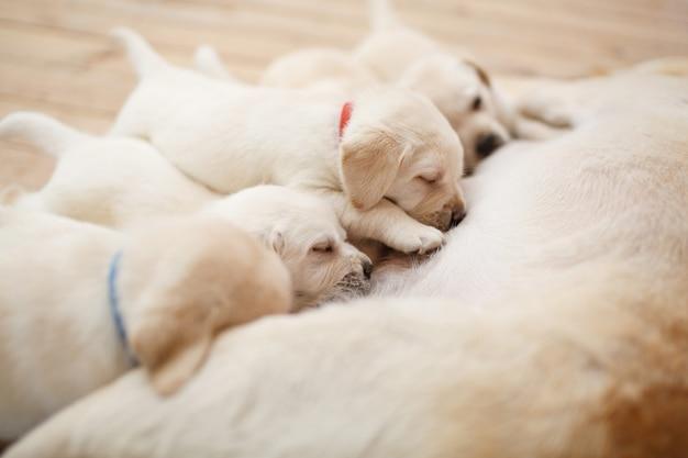 Gezonde labrador-puppy's zuigen melk teef close-up met kopieerruimte voor tekst schattige golden retrievers