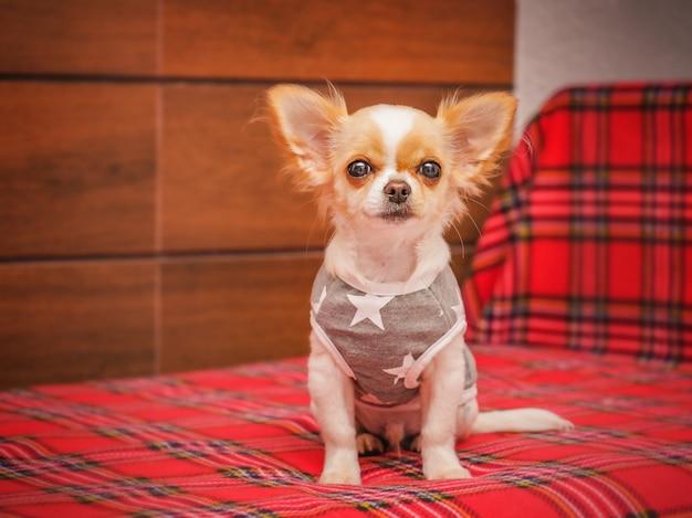 Gezonde schattige babyhond thuis. mooie kleine chihuahua pup op het bed.