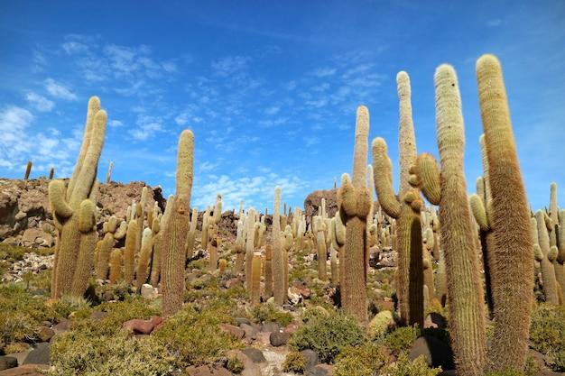 Giant cactus plants tegen sunny blue sky, isla del pescado (isla incahuasi), uyuni salt flats, bolivia