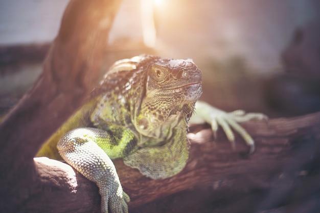 Giant lizard vasthouden aan de dode tak in het bos.