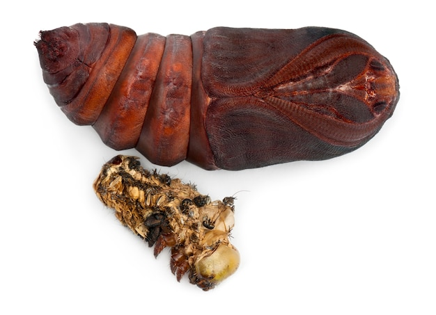 Giant peacock moth pop verwijderd uit cocon, saturnia pyri, naast zijn rui voor witte achtergrond