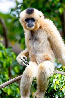 Gibbon van gouden wangen, nomascus gabriellae