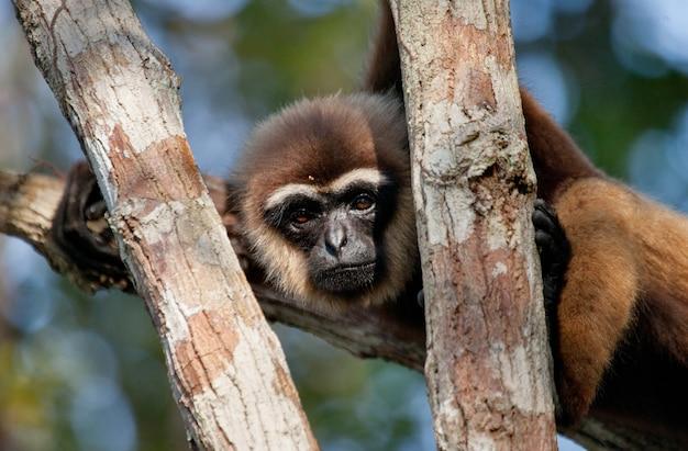 Gibbon zit op de boom. indonesië. het eiland kalimantan. borneo.