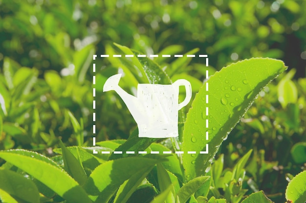 Gieter groei groene thee kruid bush landbouw concept