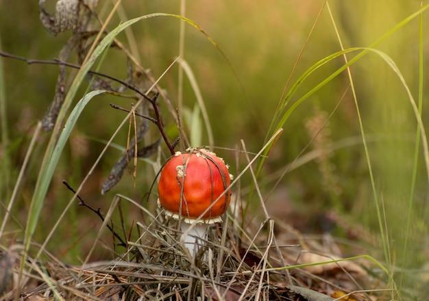 Giftige paddestoel amanita of fly agaric fungi op de bosbodem in hoog groen gras. verticale natuurlijke herfstachtergrond.