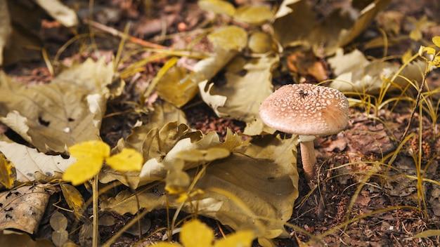 Giftige paddestoel in bos met droge bladeren