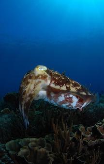 Gigantische inktvis onderwaterwereld van het eiland komodo