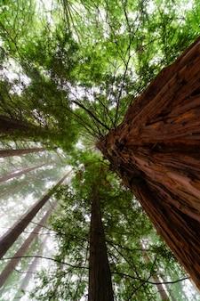 Gigantische sequoia's in het groene bos met een mistige dag in zicht naar de hemel