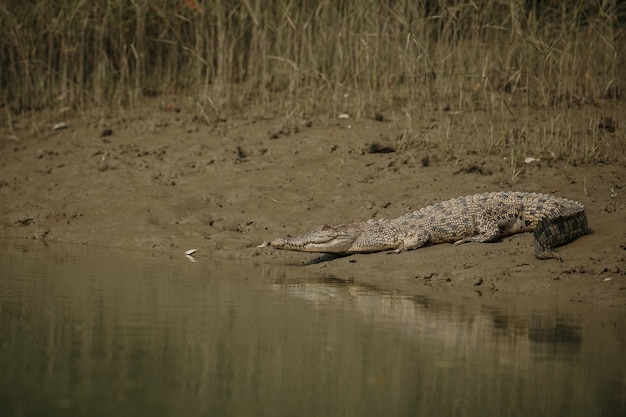 Gigantische zoutwaterkrokodil gevangen in mangroven van sundarbans in india
