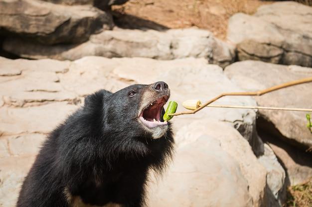 Gigantische zwarte beer eet groente van bezoeker.