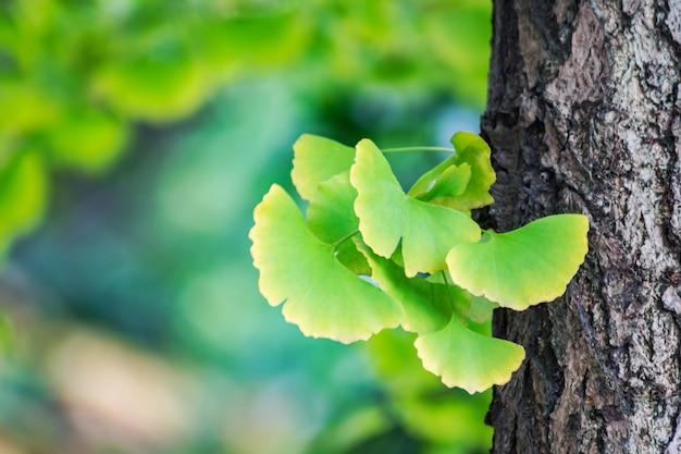 Ginkgo biloba bladeren