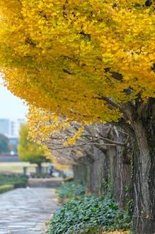 Ginkgoboom bij showa-kinenpark, tokyo, japan