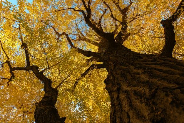 Ginkgoboom op blauwe hemel, gele bladeren op luifel.