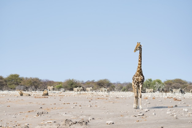 Giraf die dichtbij leeuwen loopt die op de grond ligt. wildsafari in het etosha national park.