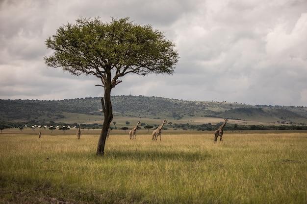 Giraf die door de graslanden in kenia loopt