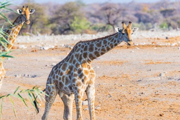 Giraf die in de struik op de woestijnpan loopt. wildlife safari in het etosha national park.