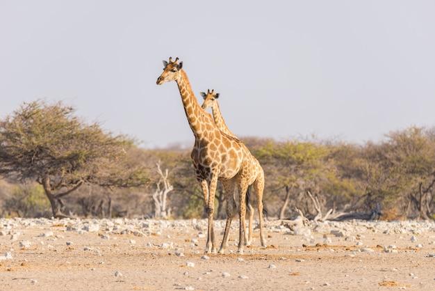 Giraf die in de struik op de woestijnpan loopt.