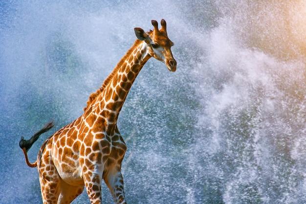 Giraf die op waterplons loopt b
