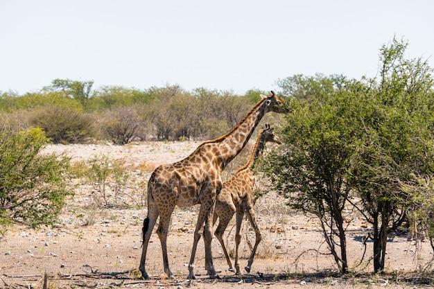 Giraf die uiterst kleine groene acaciabladeren in okaukuejo, etosha national park, namibië eet