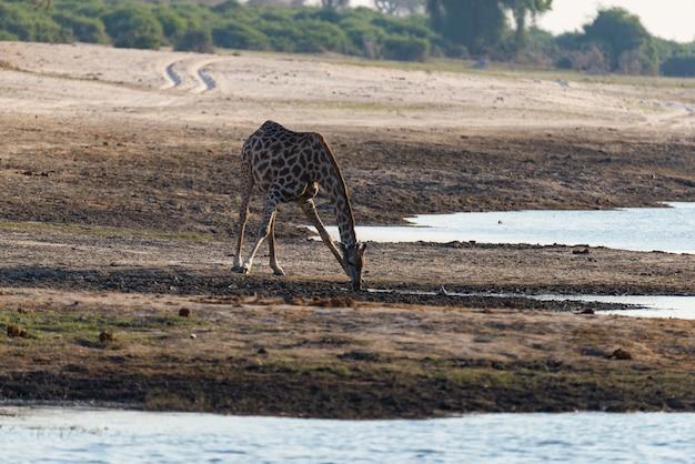 Giraf drinken uit waterput. wildlife safari in het etosha national park, beroemde reisbestemming in namibië
