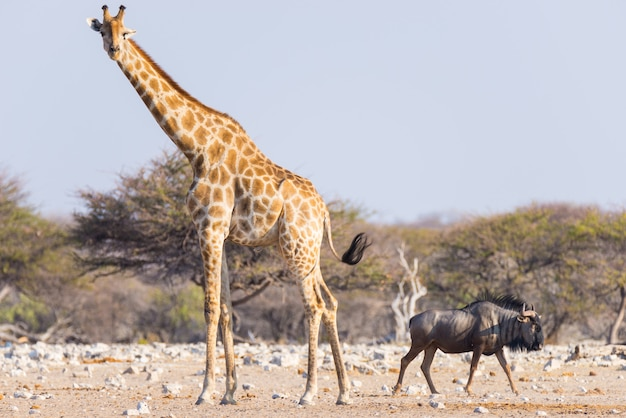 Giraf en blauwe wildebeest die in de struik lopen.