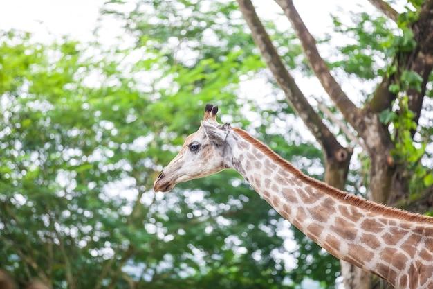 Giraf hoofd gezicht