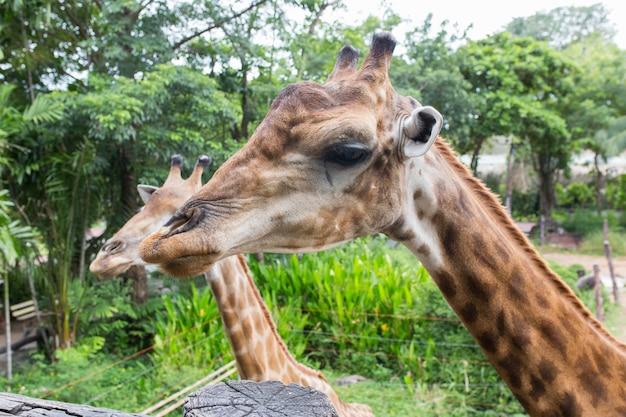 Giraf in de dusit-dierentuin, thailand.