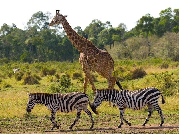 Giraf in de savanne, samen met zebra's.