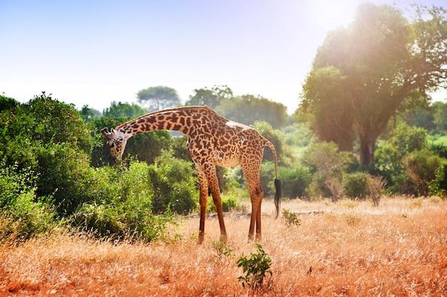 Giraf in de savanne