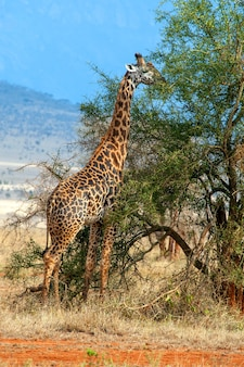 Giraf in nationaal park van kenia, afrika