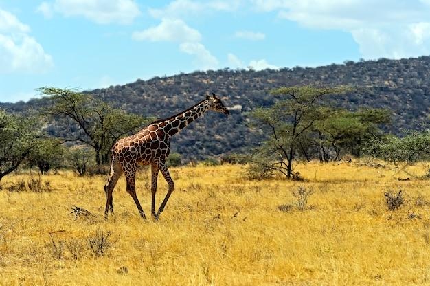 Giraf in savanne in hun natuurlijke habitat