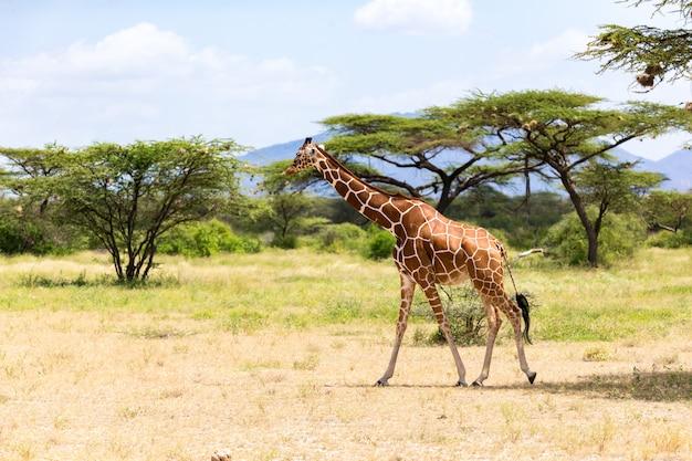 Giraf loopt door de savanne tussen de planten door