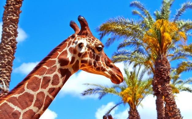 Giraf op de achtergrond van palmbomen en blauwe lucht