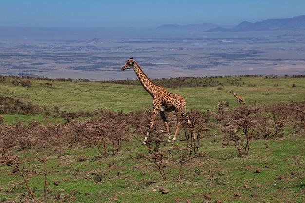 Giraf op safari in kenia en tanzania, afrika