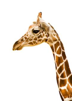 Giraf op wit wordt geïsoleerd dat