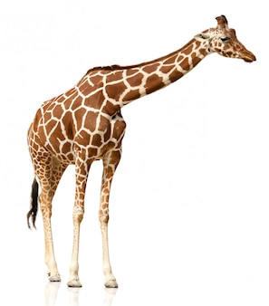 Giraf op witte achtergrond wordt geïsoleerd die