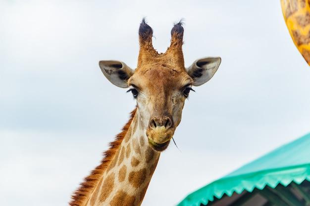 Giraf van dierentuin bij beto carrero wereld santa catarina, brazilië