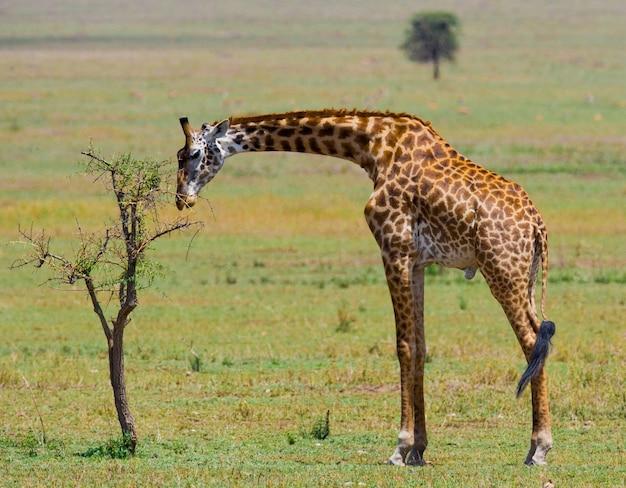 Giraffe eet acaciasavanne.