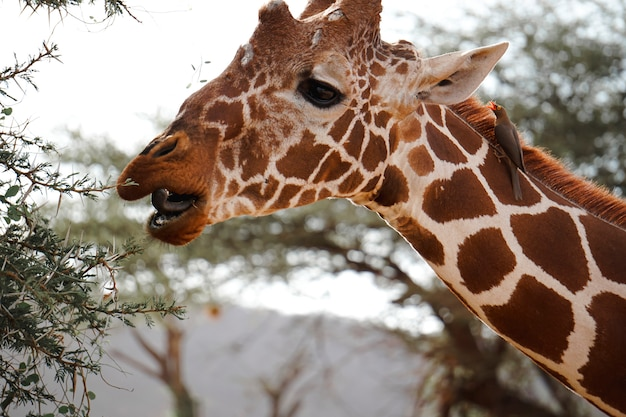 Giraffe en red-billed oxpecker in de afrikaanse savanne