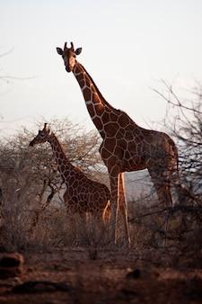 Giraffe wildlife in kenia