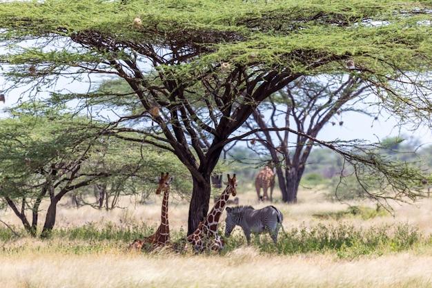 Giraffen en een juszebra onder de kruin van een schaduwrijke boom
