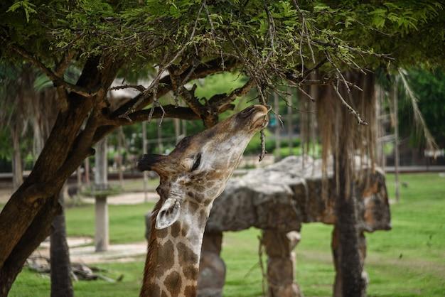 Giraffen eten voedsel dat mensen voeren