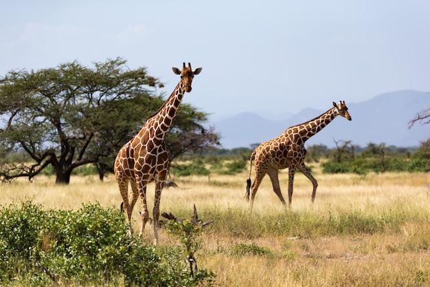 Giraffen in de savanne van kenia met veel bomen en bushesgiraffe