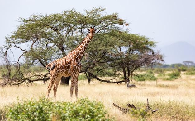 Giraffen in de savanne van kenia met veel bomen en struiken op de achtergrond