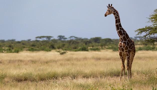 Giraffen in de savanne van kenia met veel bomen en struiken