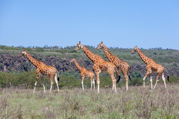 Giraffen kudde in de savanne