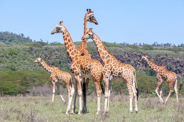Giraffen kudde in savanne