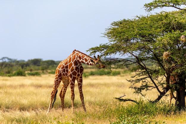 Giraffen uit somalië eten de bladeren van acaciabomen