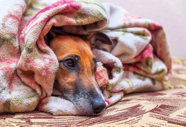 Gladde fox terrier-hond op de bank onder de deken en ziet er verdrietig eenzaam uit.