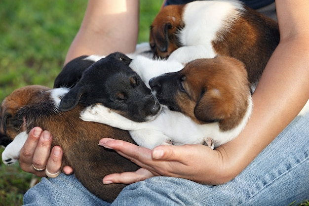 Gladde foxterrier-puppy's die op handen van de mens slapen. familie jachthonden. buitenshuis in park.